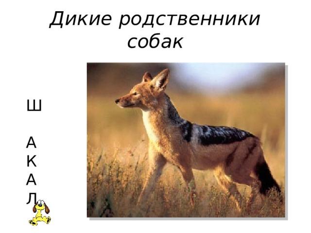 Дикие родственники собак  Ш  А  К  А  Л