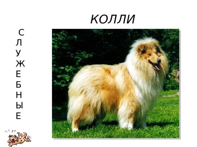 КОЛЛИ  С  Л  У  Ж  Е  Б  Н  Ы  Е