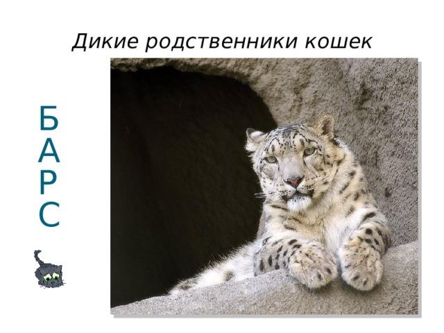 Дикие родственники кошек Б  А  Р  С