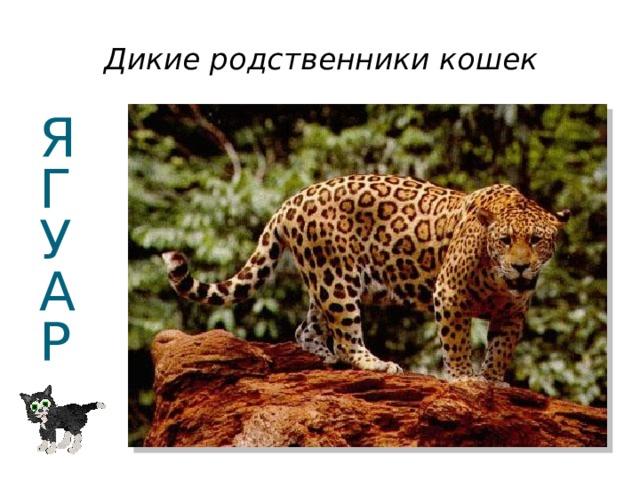 Дикие родственники кошек Я  Г  У  А  Р