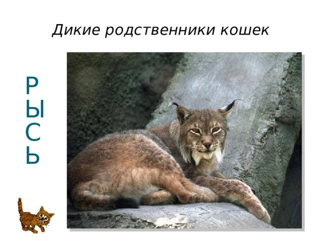 Дикие родственники кошек Р  Ы  С  Ь