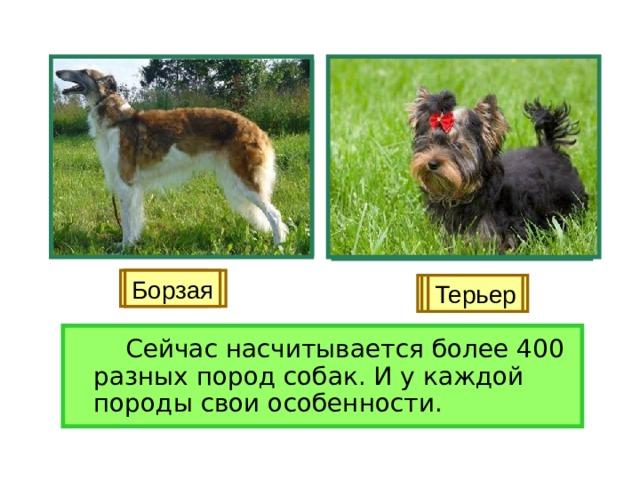 Лайка Легавая Борзая Овчарка Гончая Терьер   Сейчас насчитывается более 400 разных пород собак. И у каждой породы свои особенности.