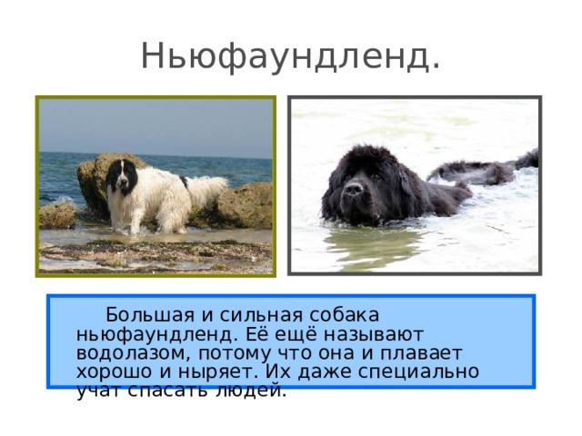 Ньюфаундленд.   Большая и сильная собака ньюфаундленд. Её ещё называют водолазом, потому что она и плавает хорошо и ныряет. Их даже специально учат спасать людей.