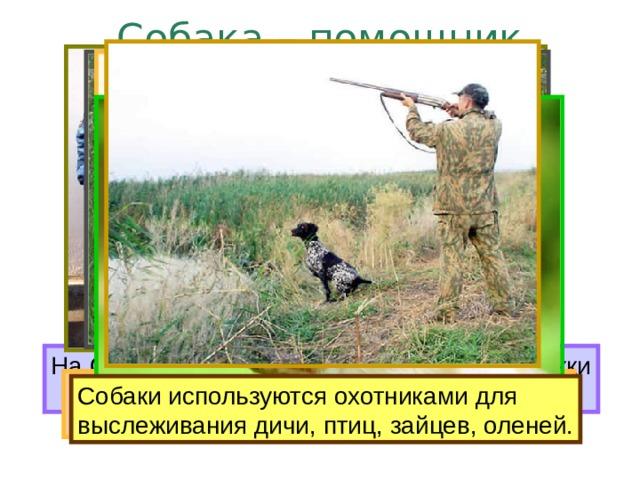 Собака – помощник человека. На Севере ездовые собаки перевозят упряжки с людьми и грузами. Милиционерам собаки помогают Слепым людям надёжно служат  разыскивать нарушителей закона. собаки-поводыри. Пастухам собаки помогают В военное время собаки спасали раненых, доставляли боеприпасы и донесения. пасти стада животных. Собаки используются охотниками для выслеживания дичи, птиц, зайцев, оленей.