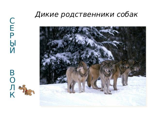 Дикие родственники собак С  Е  РЫЙ   В  О  Л  К