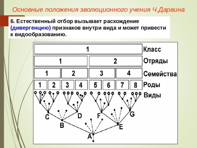 Основные положения эволюционного учения Ч.Дарвина 6. Естественный отбор вызывает расхождение (дивергенцию) признаков внутри вида и может привести к видообразованию.