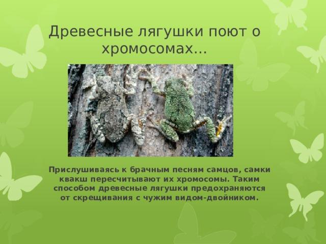 Древесные лягушки поют о хромосомах… Прислушиваясь к брачным песням самцов, самки квакш пересчитывают их хромосомы. Таким способом древесные лягушки предохраняются от скрещивания с чужим видом-двойником.