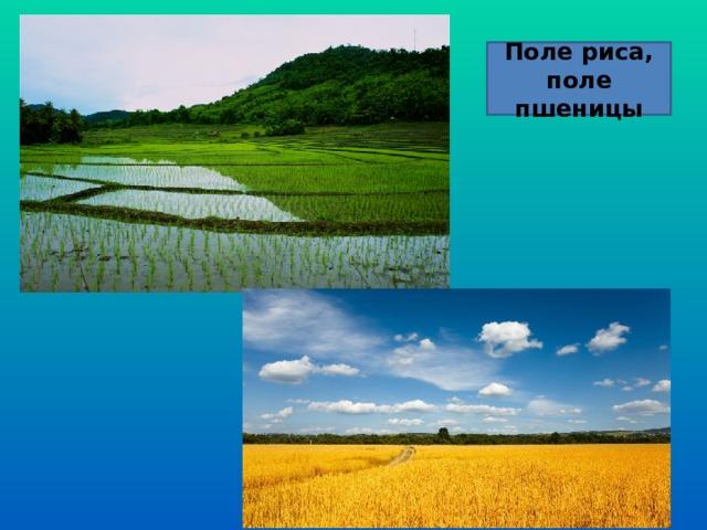 Поле риса, поле пшеницы