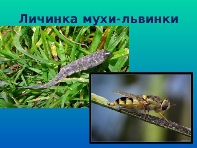 Личинка мухи-львинки