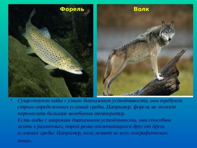 Форель Волк