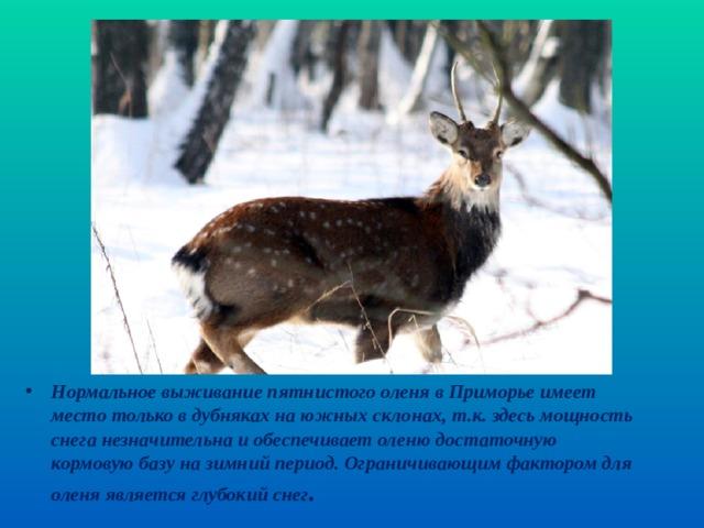 Нормальное выживание пятнистого оленя в Приморье имеет место только в дубняках на южных склонах, т.к. здесь мощность снега незначительна и обеспечивает оленю достаточную кормовую базу на зимний период. Ограничивающим фактором для оленя является глубокий снег .