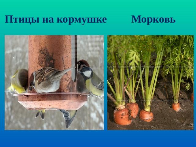 Птицы на кормушке Морковь