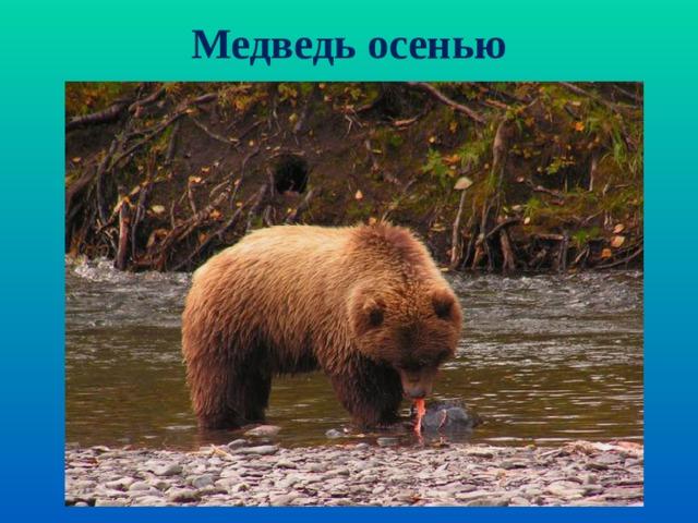 Медведь осенью