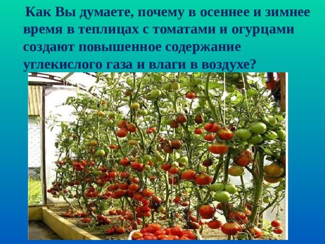 Как Вы думаете, почему в осеннее и зимнее время в теплицах с томатами и огурцами создают повышенное содержание углекислого газа и влаги в воздухе?