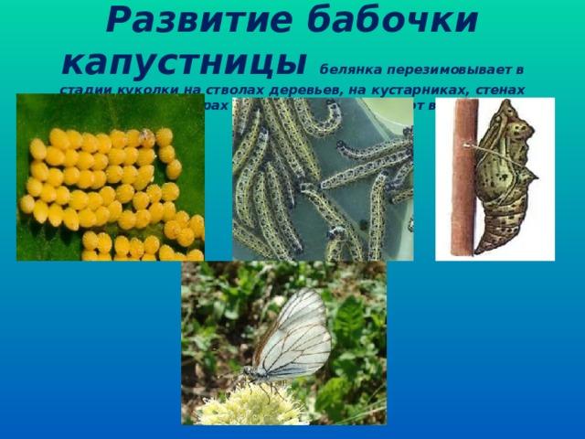 Развитие бабочки капустницы белянка перезимовывает в стадии куколки на стволах деревьев, на кустарниках, стенах зданий, заборах и т. п. Бабочки вылетают весной