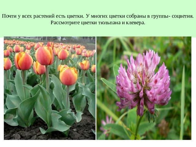 Почти у всех растений есть цветки. У многих цветки собраны в группы- соцветия.  Рассмотрите цветки тюльпана и клевера.