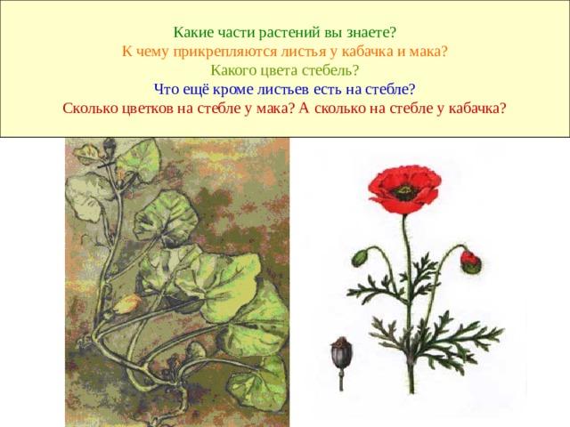 Какие части растений вы знаете?  К чему прикрепляются листья у кабачка и мака?  Какого цвета стебель?  Что ещё кроме листьев есть на стебле?  Сколько цветков на стебле у мака? А сколько на стебле у кабачка?