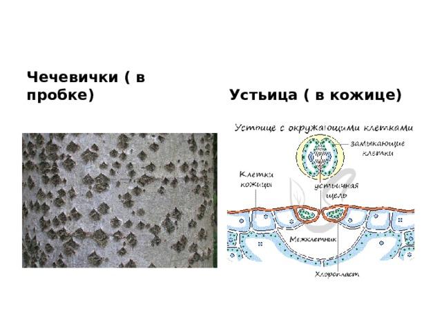 Чечевички ( в пробке) Устьица ( в кожице)