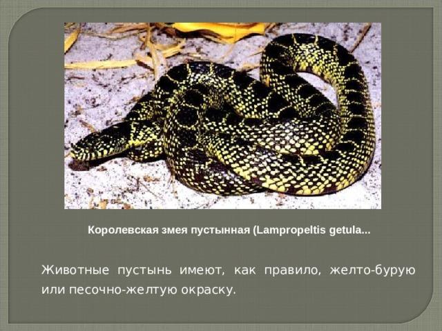 Королевская змея пустынная (Lampropeltis getula...    Животные пустынь имеют, как правило, желто-бурую или песочно-желтую окраску.