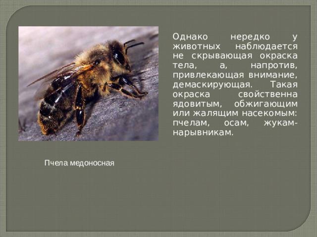 Однако нередко у животных наблюдается не скрывающая окраска тела, а, напротив, привлекающая внимание, демаскирующая. Такая окраска свойственна ядовитым, обжигающим или жалящим насекомым: пчелам, осам, жукам-нарывникам. Пчела медоносная