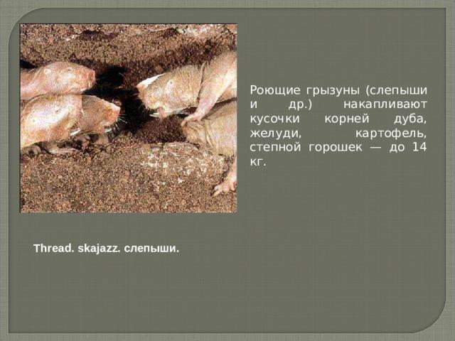 Роющие грызуны (слепыши и др.) накапливают кусочки корней дуба, желуди, картофель, степной горошек — до 14 кг. Thread. skajazz. слепыши.
