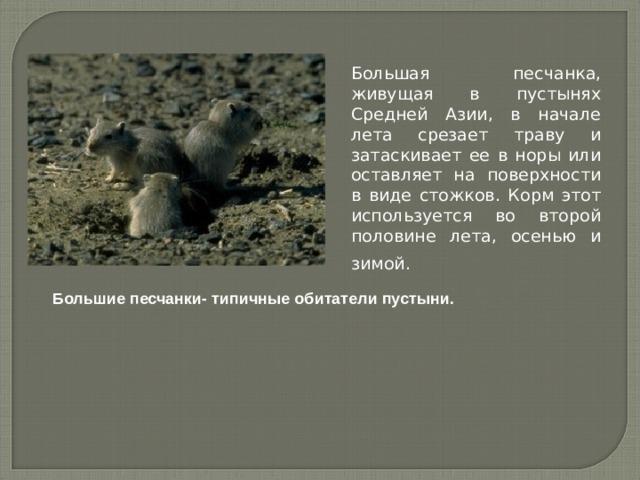 Большая песчанка, живущая в пустынях Средней Азии, в начале лета срезает траву и затаскивает ее в норы или оставляет на поверхности в виде стожков. Корм этот используется во второй половине лета, осенью и зимой.  Большие песчанки- типичные обитатели пустыни.