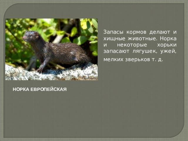 Запасы кормов делают и хищные животные. Норка и некоторые хорьки запасают лягушек, ужей, мелких зверьков т. д.  НОРКА ЕВРОПЕЙСКАЯ