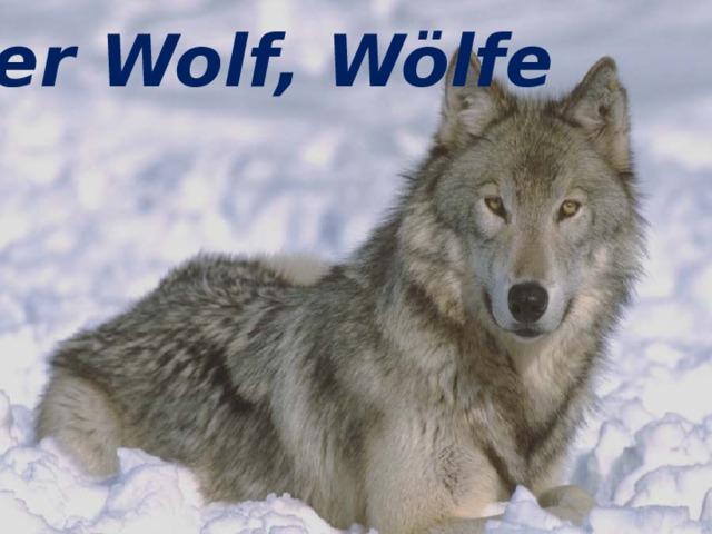 der Wolf, Wölfe der Wolf, Wölfe