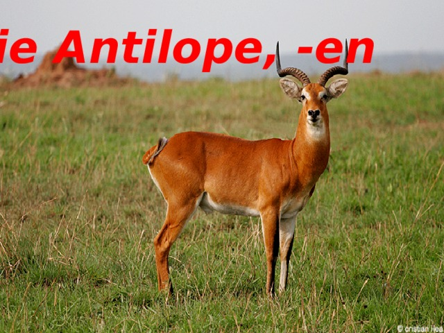 die Antilope, -en die Antilope, -en