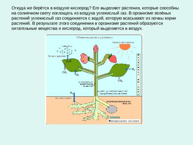 Откуда же берётся в воздухе кислород? Его выделяют растения, которые способны на солнечном свету поглощать из воздуха углекислый газ. В организме зелёных растений углекислый газ соединяется с водой, которую всасывают из почвы корни растений. В результате этого соединения в организме растений образуются питательные вещества и кислород, который выделяется в воздух.