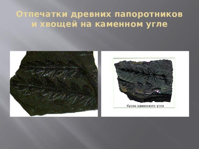 Отпечатки древних папоротников и хвощей на каменном угле