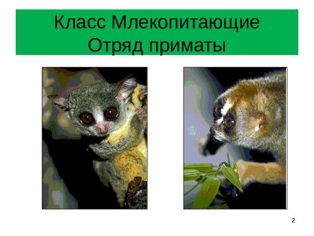 Класс Млекопитающие  Отряд приматы
