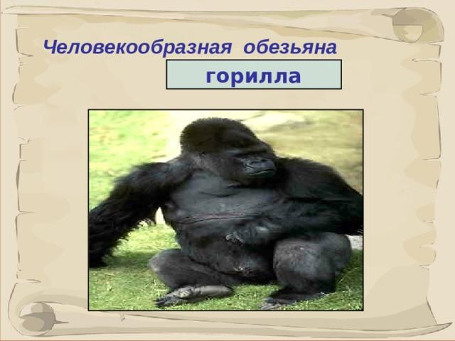 Человекообразная обезьяна горилла 7 7