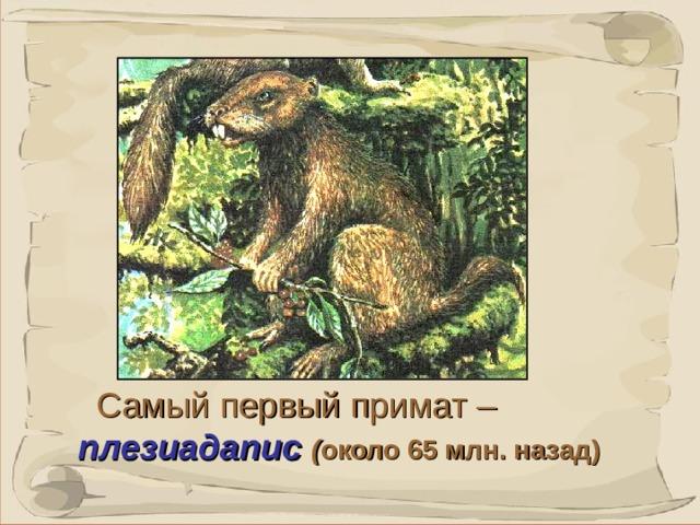 Это существо появилось около 65 млн. назад и больше походило на крупную белку. Самый первый примат  – плезиадапис ( около 65 млн. назад)  7 7