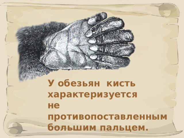 У обезьян кисть характеризуется не противопоставленным большим пальцем.