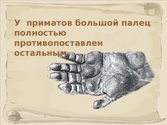 У приматов большой палец полностью противопоставлен остальным.  Способность к хватанию достигается благодаря совместному действию всех пальцев, при котором большой палец кисти охватывает предмет снаружи и фиксирует его на ладони.
