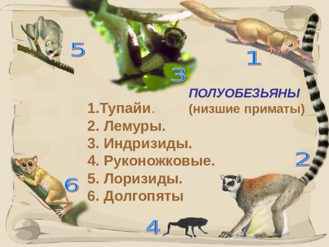ПОЛУОБЕЗЬЯНЫ  (низшие приматы) 1.Тупайи . 2. Лемуры. 3. Индризиды. 4. Руконожковые. 5. Лоризиды. 6. Долгопяты