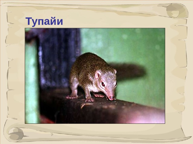 Тупайи это небольшие зверьки, до 25 см, похожие на крыс, с вытянутой мордочкой и длинным пушистым хвостом.