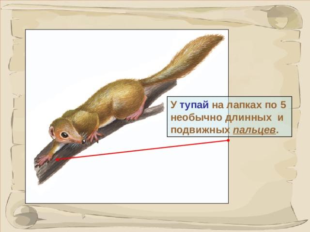 У тупай на лапках по 5 необычно длинных и подвижных  пальцев . В отличии от других приматов на пальцах не ногти, а коготки.