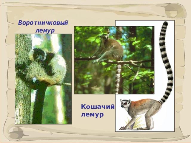 Воротничковый лемур Лемуры - древесные, полудревесные и наземные животные.  Лемуры живут стадами по 10-12 особей, предпочитая засушливые леса.  Хвост у кошачьего лемура примерно в 2 раза длиннее остального тела. Кошачий лемур