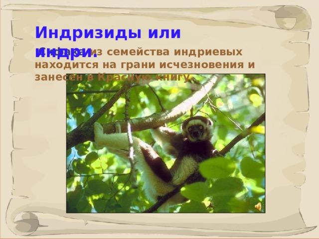 Индризиды или индри.   Сифака из семейства индриевых находится на грани исчезновения и занесен в Красную книгу.  Жители Мадагаскара называют индри - лесной собакой - индри способны издавать громкие лающие звуки