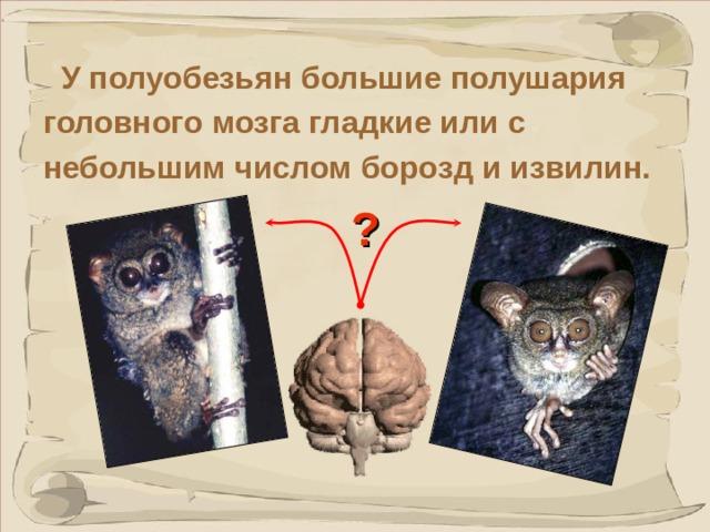 У полуобезьян большие полушария головного мозга гладкие или с небольшим числом борозд и извилин. ? Данный факт говорит о примитивизме этих животных.