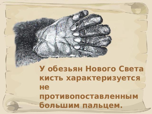 У обезьян Нового Света кисть характеризуется не противопоставленным большим пальцем. 41 41
