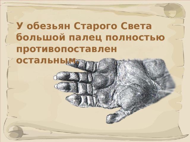 У обезьян Старого Света большой палец полностью противопоставлен остальным.  Способность к хватанию достигается благодаря совместному действию всех пальцев, при котором большой палец кисти охватывает предмет снаружи и фиксирует его на ладони. 41 41