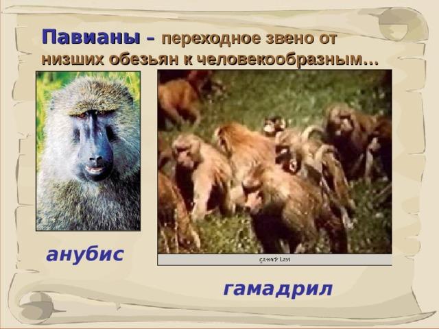 Павианы – переходное звено от низших обезьян к человекообразным…  ПАВИАНЫ (собакоголовые обезьяны), род узконосых обезьян, включает семь видов: гамадрил, анубис, бабуин, гвинейский павиан, медвежий павиан, мандрил и дрил. Это крупные животные, длина их тела около 100 см, хвоста 5-70 см, масса до 25 кг и более (до 50 кг у мандрила).  анубис гамадрил 41 41