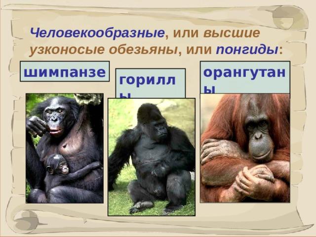 Человекообразные , или высшие  узконосые обезьяны , или понгиды : шимпанзе орангутаны  гориллы 41 41