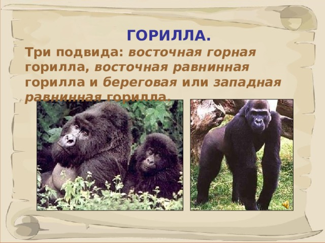 ГОРИЛЛА. Три подвида: восточная горная горилла, восточная равнинная горилла и береговая или западная равнинная горилла. Гориллы — самые крупные из человекообразных обезьян. Длина тела самцов достигает 180 см, масса тела 250 кг и более. В зоопарках самцы могут иметь и большую массу. Самки вдвое легче и меньше самцов. Сложение тела массивное, сильно развита мускулатура. Объем мозга составляет в среднем около 500-600 куб. см, иногда — до 752 куб. см Гориллы размножаются круглый год. Детеныш рождается голый, беспомощный, до трех лет держится при матери, но иногда отказывается от груди и в год. Детей рожают один раз в 3-5 лет. Известны случаи рождения двойни.  41 41