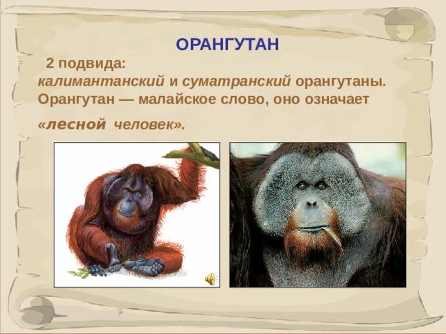 ОРАНГУТАН  2 подвида: калимантанский и суматранский орангутаны. Орангутан — малайское слово, оно означает « лесной  человек». Орангутаны встречаются только на Калимантане и Суматре. Самцы достигают веса в 135 кг, ростом невелики - 120-135 см.Имеют массивное туловище, короткие ноги и невероятно длинные руки (в размахе до 2,5 м). Самцы живут отшельниками, владея большой территорией, где обитает несколько самок с детенышами. Матери обожают своих отпрысков, чистят, причесывают, согревают, в жару купают под дождем, как под душем. Самцы завоевывают руку и сердце своих избранниц песней, больше похожей на вибрирующий рев и ворчание 41 41