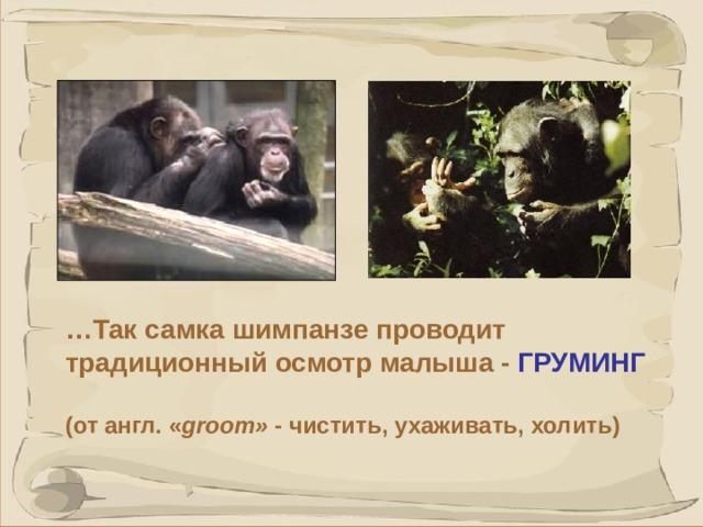 … Так самка шимпанзе проводит традиционный осмотр малыша - ГРУМИНГ  (от англ. « groom» - чистить, ухаживать, холить) 41 41