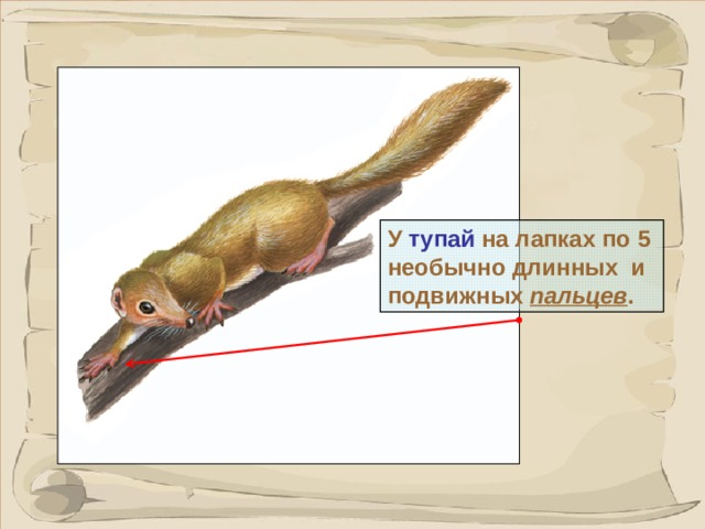 У тупай на лапках по 5 необычно длинных и подвижных  пальцев . В отличии от других приматов на пальцах не ногти, а коготки. 7 7